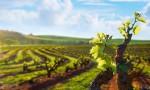 Savršena zaštita vinove loze prije cvatnje
