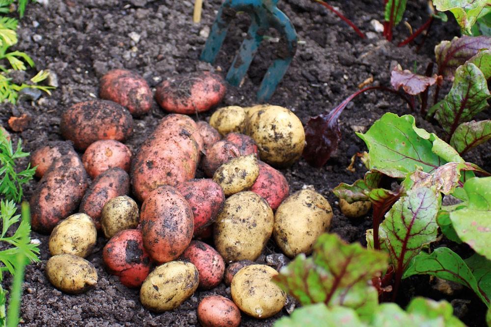 Na vrijeme zaštitie krumpir od korova, bolesti i štetnika