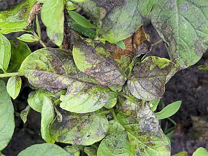 PLAMENJAČAKRUMPIRA(Phytophtorainfestans)ChromosAgrod.d.image