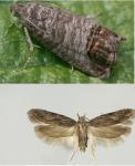 BRESKVIN SAVIJAČ (Cydia molesta) i BRESKVIN MOLJAC (Anarsia lineatella)