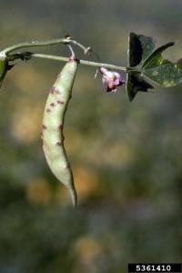 HRĐAGRAHA(Uromycesappendiculatus)ChromosAgrod.d.image