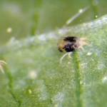 KOPRIVINAGRINJA(Tetranycusurticae)iATLANSKAGRINJA(Tetranycusatlanticus)ChromosAgrod.d.image