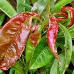 KOVRČAVOSTLISTABRESKVE(Taphrinadeformans)ChromosAgrod.d.image