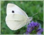KUPUSNI BJELAC (Pieris brassicae)