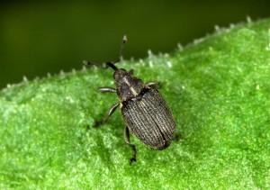 REPIČINA PIPA KOMUŠARICA (Ceutorhynchus obstrictus) Chromos Agro d.d.