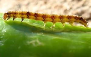 SOVICE (lat. Noctuidae) Chromos Agro d.d.