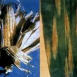 FUZARIOZE KUKURUZA (Fusarium spp.) Chromos Agro d.d.