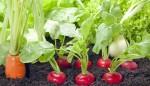 Zemljišni štetnici povrtnih kultura