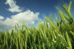Štete koje nam nanose korovi u žitaricama