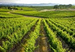Dugotrajna zaštita vinograda i voćnjaka od korova