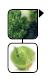 brokula kupus