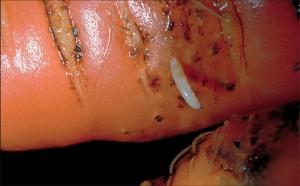 MRKVINAMUHA(Psilarosae)ChromosAgrod.d.image
