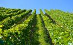 Kako zaštiti vinograd od plamenjače i pepelnice