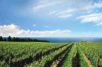 Vinograd bez plamenjače i pepelnice (Luga)