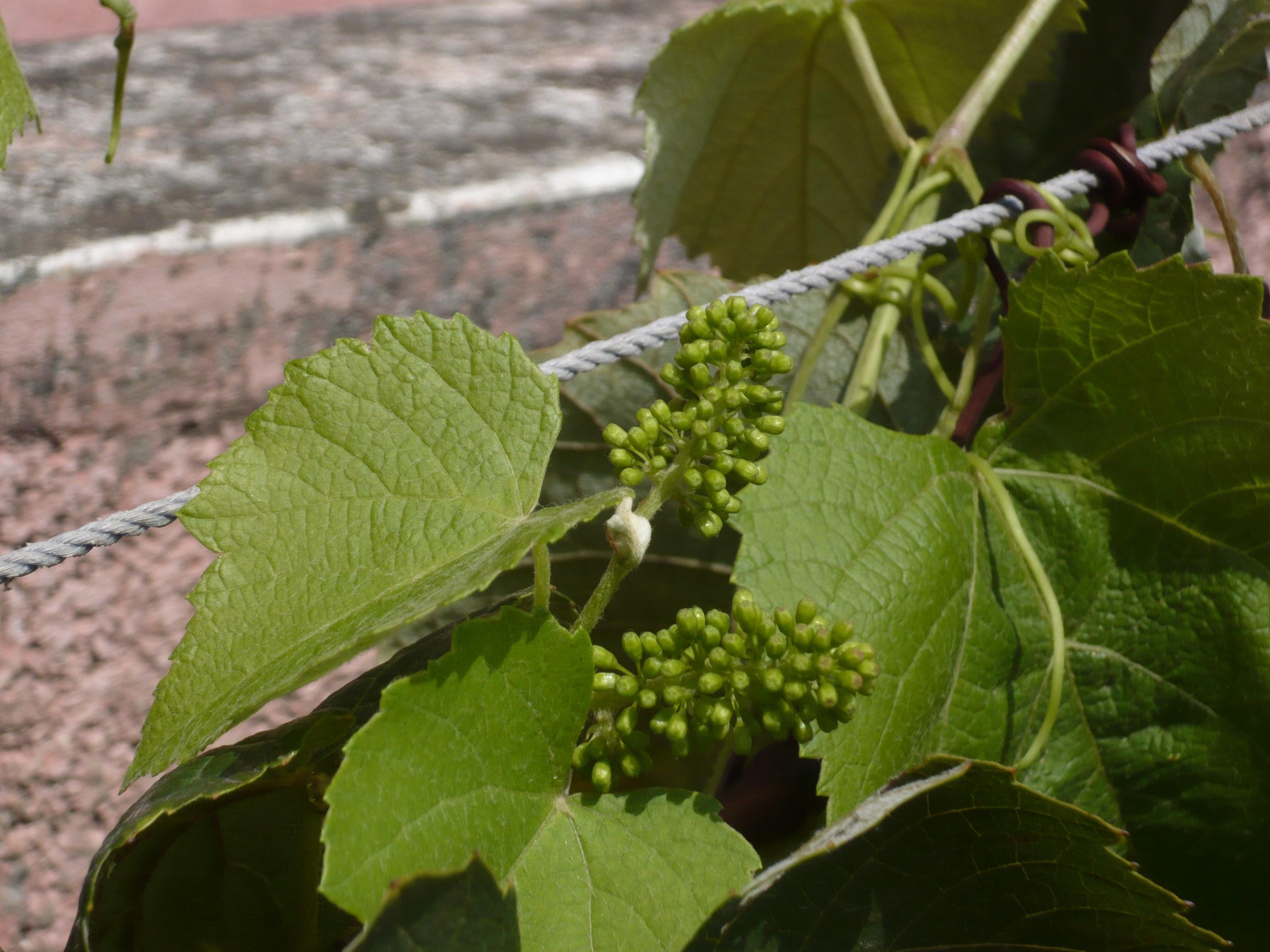 Vinogradima i dalje prijeti plamenjača i pepelnica