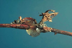 PALEŽCVIJETA,IZBOJAITRULEŽPLODABRESKVE(Monilinialaxa)ChromosAgrod.d.image