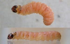 BRESKVINSAVIJAČ(Cydiamolesta)iBRESKVINMOLJAC(Anarsialineatella)ChromosAgrod.d.image