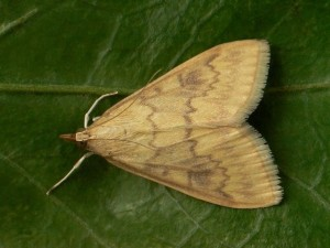 KUKURUZNIMOLJAC(Ostrinianubilalis)ChromosAgrod.d.image