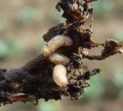 KUPUSNAMUHA(Deliaradicum)ChromosAgrod.d.image