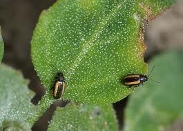 KUPUSNIBUHAČ(Phyllotretanemorum)ChromosAgrod.d.image