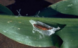 KUKURUZNIMOLJAC(plamenac)(Ostrinianubilalis)ChromosAgrod.d.image