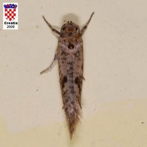 MASLININMOLJAC(Praysoleae)ChromosAgrod.d.image