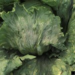 PLAMENJAČASALATE(Bremialactucae)ChromosAgrod.d.image
