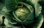 PRSTENASTA PJEGAVOST (Mycosphaerella brassiciola)