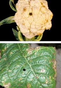 PRSTENASTAPJEGAVOST(Mycosphaerellabrassiciola)ChromosAgrod.d.image