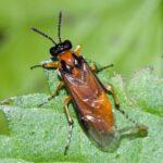 Jesenska zaštita uljane repice od štetnika