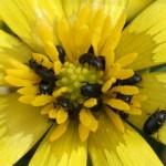 REPIČINSJAJNIK(Meligethesaeneus)ChromosAgrod.d.image