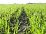 Kako se uspješno riješiti korova u ozimim žitaricama  sa STOMP AQUA