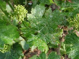 CRNAPJEGAVOST(Phomopsisviticola)ChromosAgrod.d.image