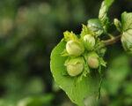 Jesenska zaštita lijeske, oraha i koštičavog voća