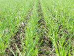 FUGA DELTA – Herbicid za rano suzbijanje korova u ozimim žitaricama