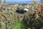 Zaštita jabuke od fenofaze mirovanja vegetacije do pojave cvjetova