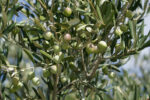 Zaštita maslinika u mjesecu ožujku