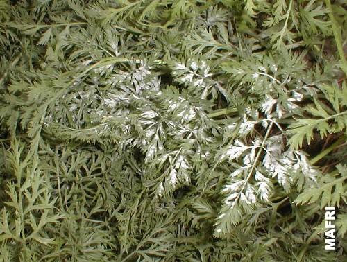 PEPELNICAMRKVE(Erysipheheraclei)ChromosAgrod.d.image
