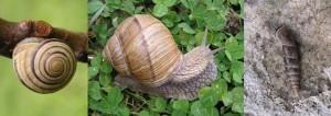 PUŽEVI(Gastropoda)ChromosAgrod.d.image
