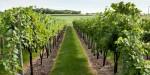 Aktualna preporuka zaštite vinove loze nakon cvatnje
