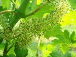 VINOVA LOZA – cvatnja i završetak cvatnje