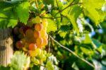 Zaštita vinove loze u vrijeme rasta bobica