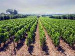 Korovi i njihova štetnost u voćnjacima i vinogradima