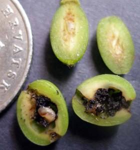 ŠLJIVINAOSICA(Hoplacampaminuta,H.flava)ChromosAgrod.d.image