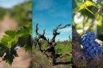 Zaštita vinograda do početaka cvatnje od plamenjače i pepelnice
