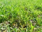 Zaštita strnih žitarica vrhunsko učinkovitim herbicidom Saracen® Max